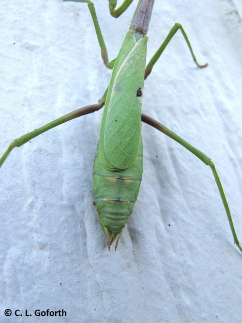 mantis-butt